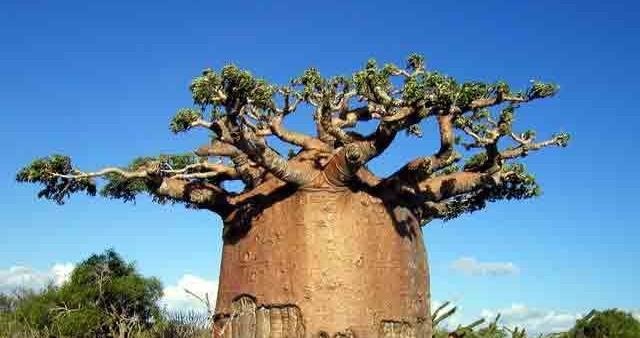 Boab Tree pic2